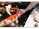 Hand Feeding Your Koi